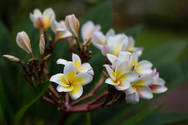 I fiori di plumeria sono belle piante tropicali in tailandia.