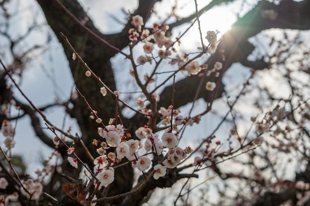 I fiori di prugna rosa stanno sbocciando sull'albero.