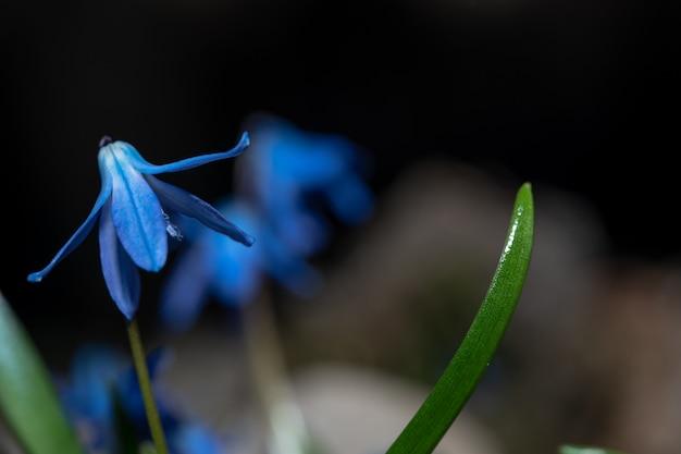 I fiori di scilla fiorirono in primavera