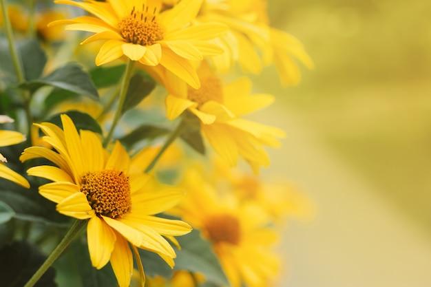 I fiori gialli dell'echinacea hanno offuscato il fondo del bokeh con copyspace