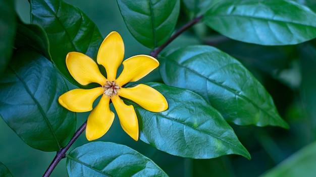 I fiori gialli luminosi su un fondo si inverdiscono le foglie nel giardino.