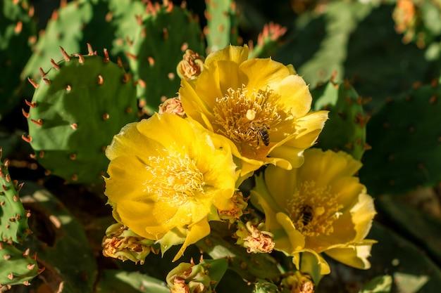 I fiori gialli su un cactus stanno fiorendo il colore luminoso