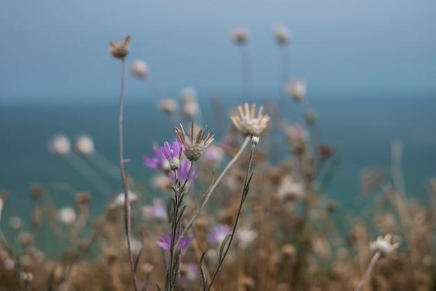 I fiori immortelles crescono su una scogliera sul mare