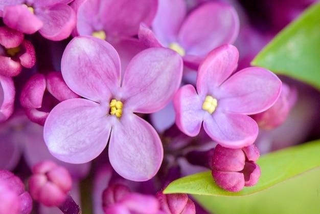 I fiori lilla rosa si chiudono su