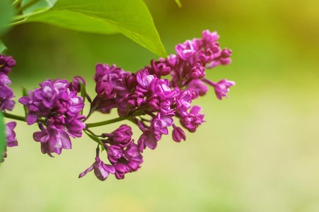 I fiori lilla si chiudono su con i raggi del sole e molla del bokeh o fondo dell'estate