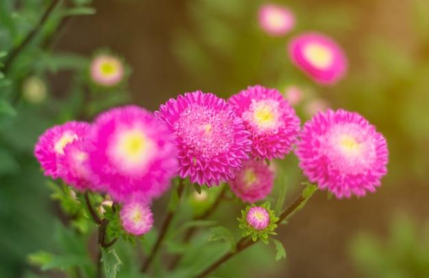 I fiori rosa sbocciano magnificamente per lo sfondo