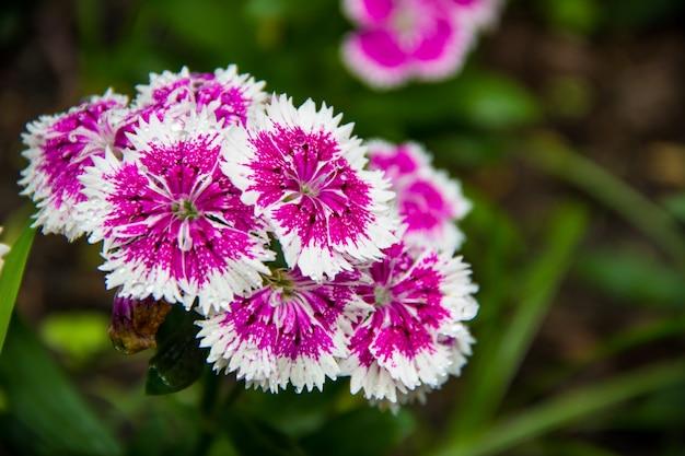 I fiori rosa sbocciano nel giardino,
