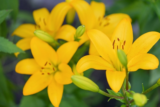 I fiori sono gigli gialli close-up. macrofotografia orizzontale