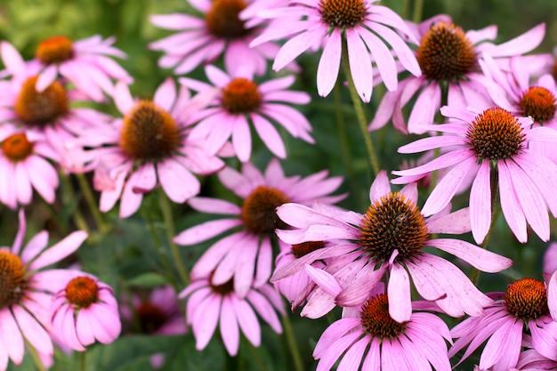 I fiori viola del coneflower si sviluppano del giardino