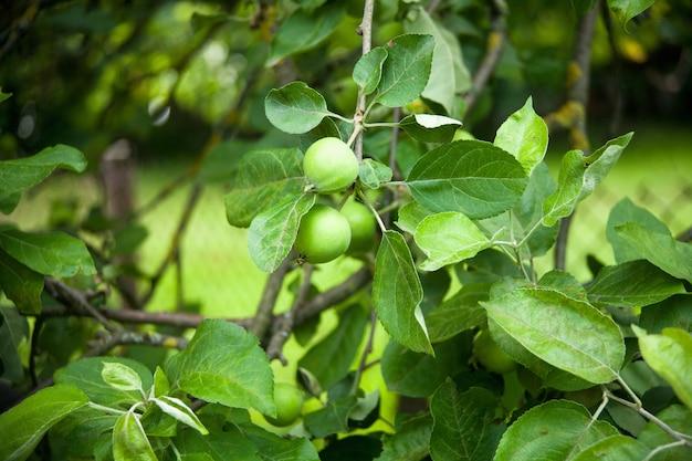 I frutti degli alberi di mele che crescono sull'albero