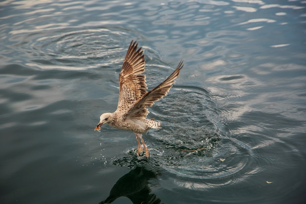 I gabbiani volano e mangiano sul molo di istanbul.