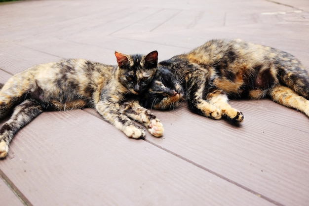 I gatti a strisce grigi delle coppie godono e assonnati sul pavimento di legno in giardino con luce solare naturale