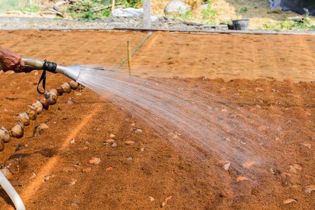 I giardinieri stanno annaffiando in piantagioni di profumo di cocco per razze