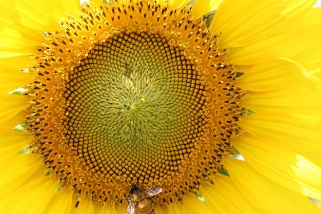 I girasoli del primo piano stanno fiorendo e l'ape mangia il nettare.
