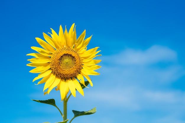 I girasoli gialli stanno fiorendo con un bel cielo blu al mattino.