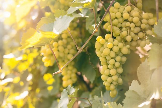 I grappoli verdi maturi dell'uva pendono su un ramo in un giardino in fasci luminosi del sole