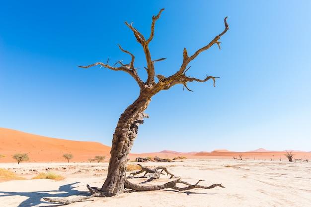 I panoramici sossusvlei e deadvlei, argilla e saline con alberi di acacia intrecciati circondati da maestose dune di sabbia