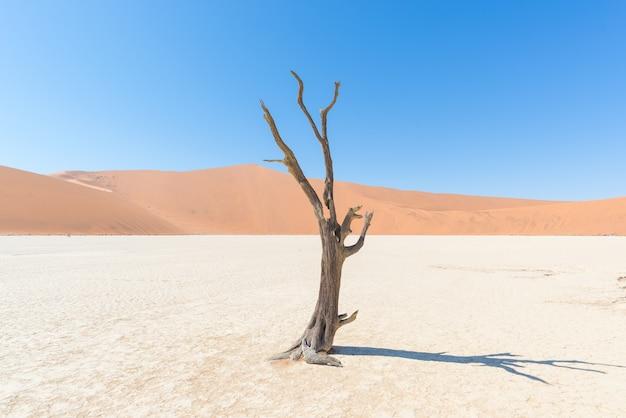 I panoramici sossusvlei e deadvlei, argilla e saline con alberi di acacia intrecciati