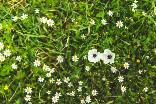 I papaveri bianchi e le margherite nell'erba verde ondeggiano al vento in una giornata di sole