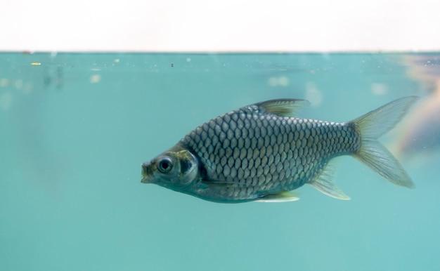 I pesci d'acqua dolce nuotano nell'acqua, vista dal lato