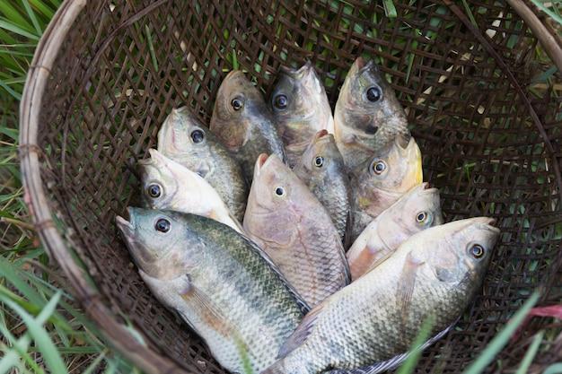 I pesci di tilapia nell'azienda agricola per inviano al mercato di prodotti freschi, tailandia