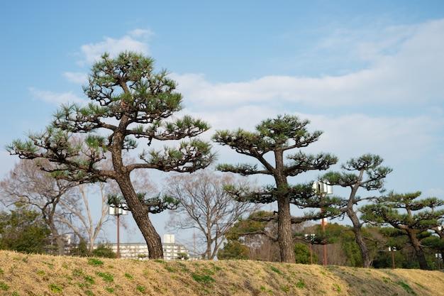 I pini stanno crescendo nel parco.