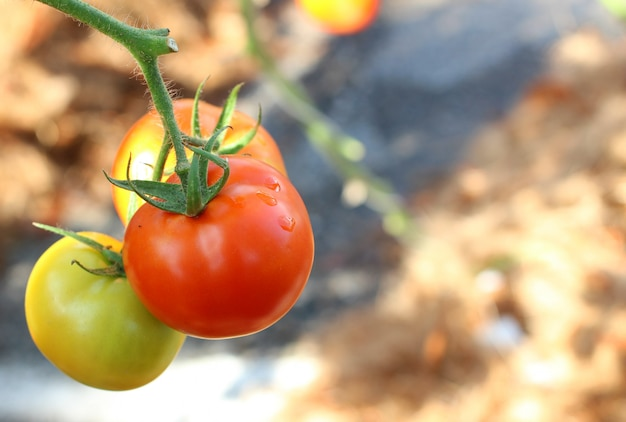 I pomodori freschi sul concetto dell'albero del prodotto agricolo e dell'agricoltura