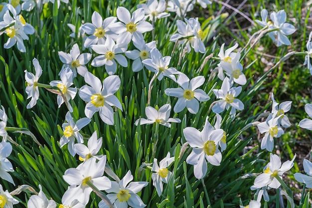 I primi fiori primaverili dei narcisi sbocciano su un prato verde.