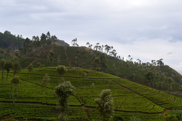 I raccolti e la nebbia del tè verde in haputale, sri lanka