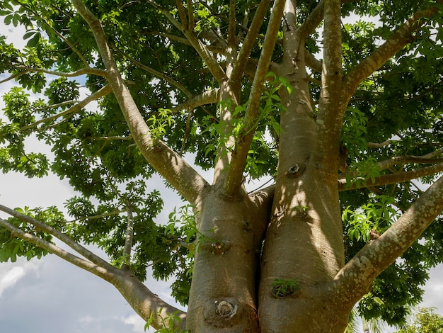 I rami dell'albero del baobab