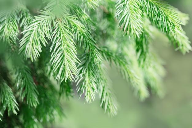 I rami di abete si chiudono su. rami verdi naturali della conifera dell'albero.