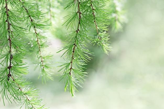 I rami di abete si chiudono su. sfondo ambientale natura da rami di pino verde con aghi morbidi. concetto di carta da parati di natale. messa a fuoco selettiva. copia spazio.