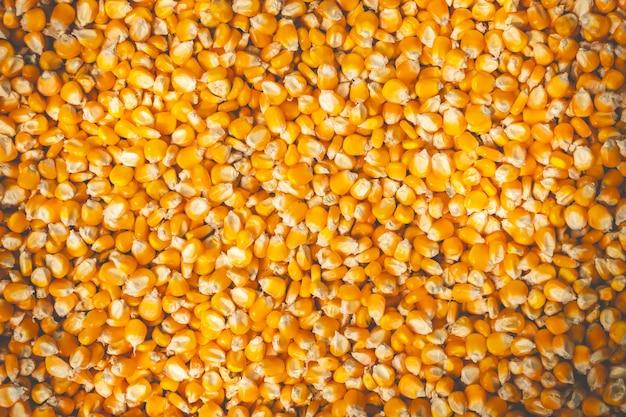 I semi di mais sono essiccati al sole. adatto per articoli di sfondo sull'agricoltura.