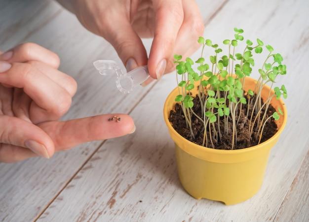 I semi nella mia mano. piantare semi in primavera.