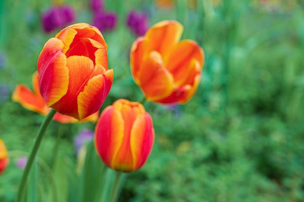 I tulipani fioriscono in giardino, fondo della natura.