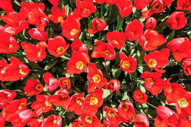 I tulipani rossi luminosi hanno sparato da sopra, i giardini di keukenhof a lisse, paesi bassi