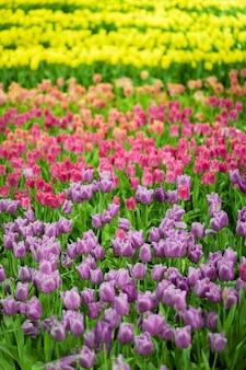 I tulipani variopinti dei fiori che fioriscono su fondo dei tulipani di giallo dei fiori nel campo dei tulipani