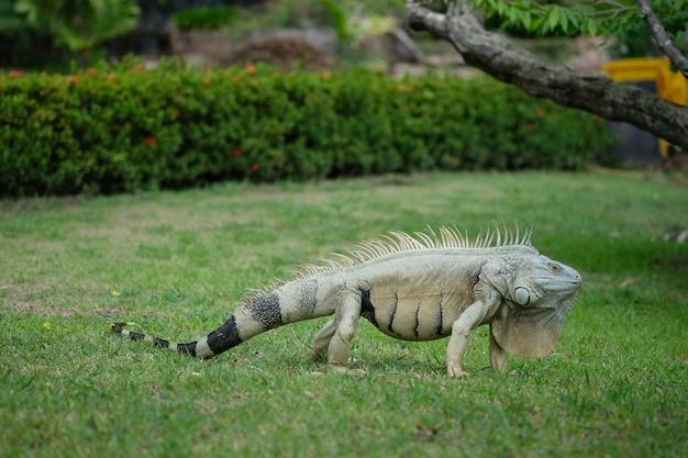 Iguana che pone sul campo di erba verde