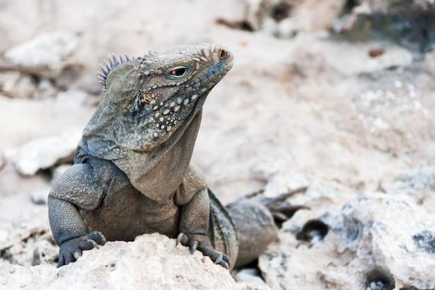 Iguana di roccia cubana (cyclura nubile).