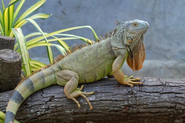 Iguana (iguanidae), rettili preistorici