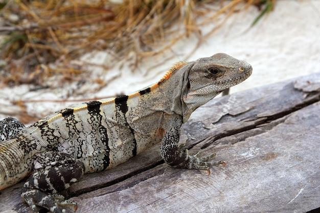 Iguana in messico sulla spiaggia vicina di legno grigia invecchiata