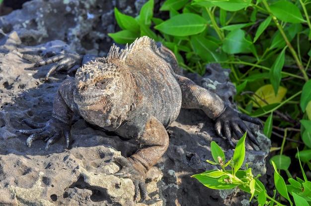 Iguana marina in ambiente naturale