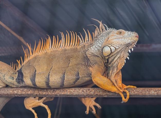 Iguana marrone