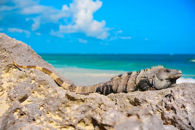 Iguana messicana in tulum in riviera maya
