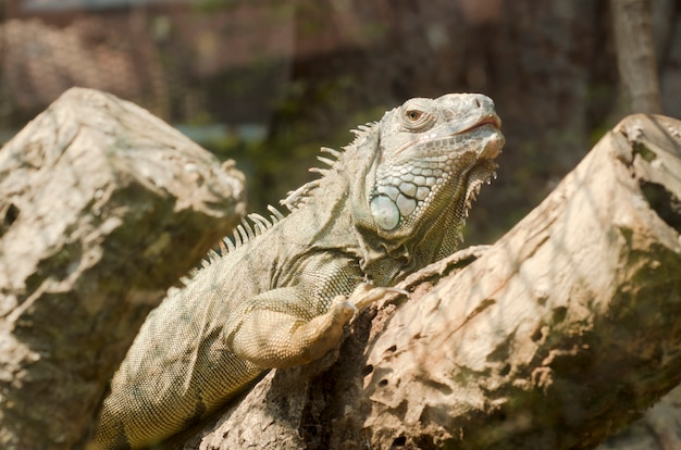 Iguana nello zoo aperto, tailandia