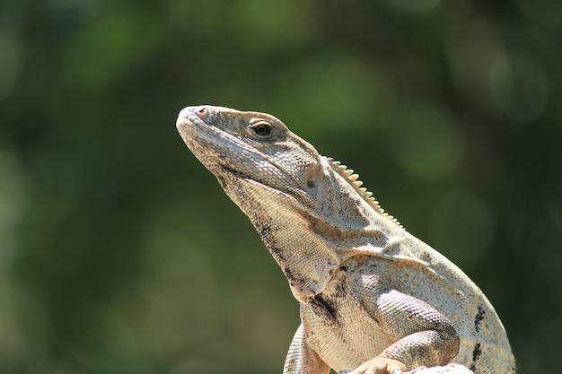 Iguana sotto il sole nella giungla in primo piano