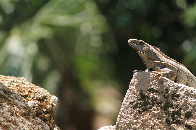 Iguana sotto il sole sopra una roccia in natura