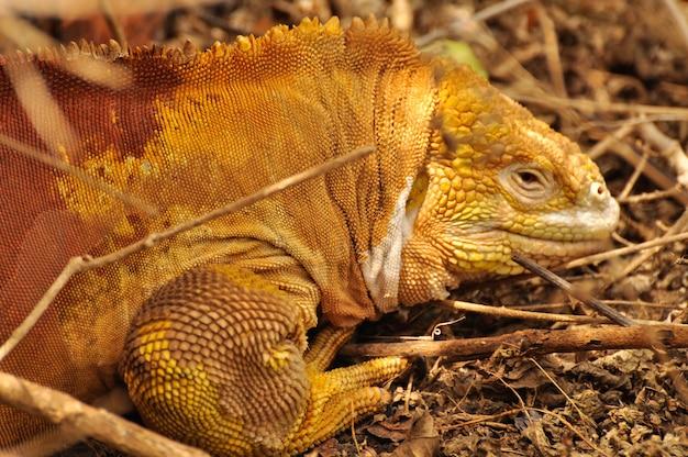 Iguana terrestre in ambiente naturale