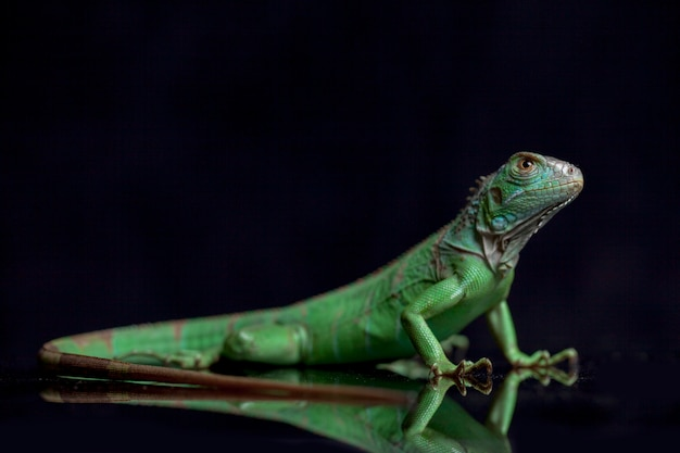 Iguana verde giovanile isolata su fondo nero