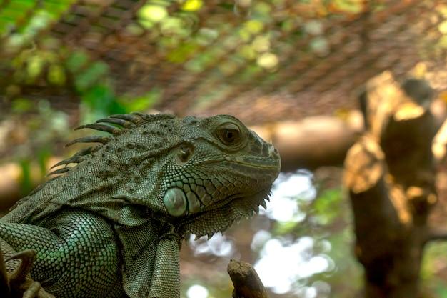 Iguana verde in zoo
